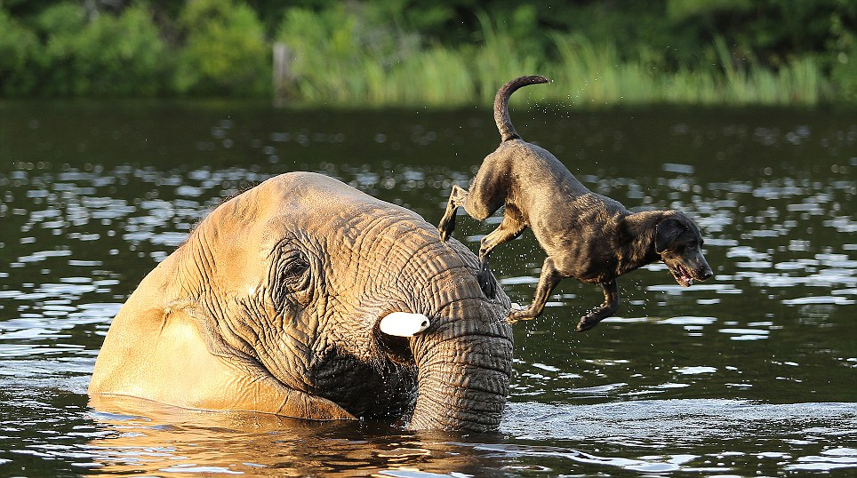 Best Friends Elephant and Dog play fetch in the river.